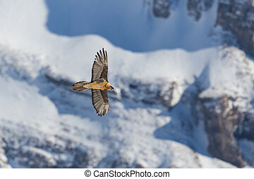 adult bearded vulture (gypaetus barbatus) in flight, snow, ...