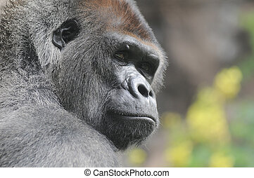 One Adult Black Gorilla near Some Yellow Flowers
