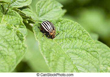 one adult colorado beetle sitting on a young green foliage...