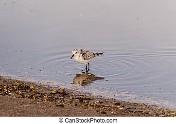 Adult Kentish Plover Water Bird - One Adult Kentish Plover ...