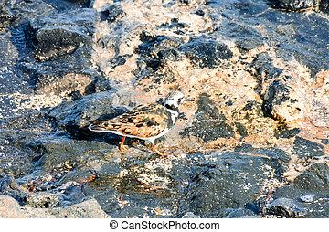 Kentish Plover Water Bird  - One Adult Kentish Plover Water ...