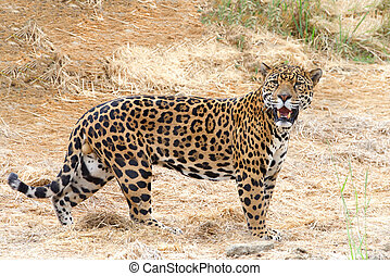One adult male leopard standing in drought parched brown dry grass