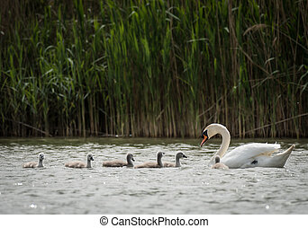 One adult swan with several grey children swimming on a...