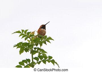 Allen's Hummingbird sitting in a tree top
