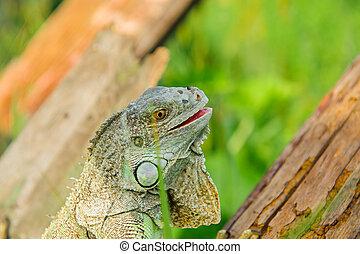 one animal green iguana - one green iguana lizard rests on a...