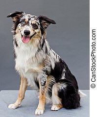 one Aussi sheepdog sitting in studio with grey background