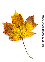 One autumn yellow-red maple leaf in the middle of white background.
