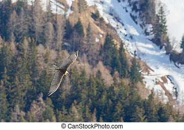 bearded vulture (gypaetus barbatus) in flight over forest in...