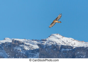 bearded vulture (gypaetus barbatus) in flight, snowcapped ...