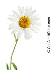 daisy isolated - One beautiful daisy isolated on white...