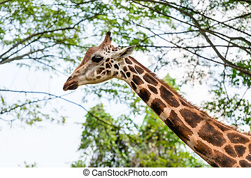One beautiful Giraffe showing its long neck outdoors in the...