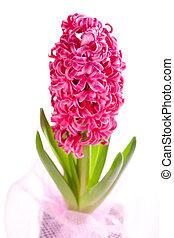 beautiful hyacinth - one beautiful hyacinth on white ...
