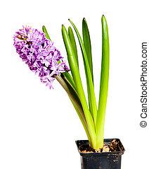 hyacinth - one beautiful hyacinth on white