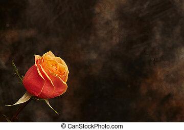 One beautiful orange rose on brown background