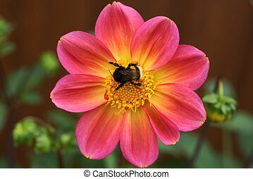 big bumblebee sits on a bud of a red flower
