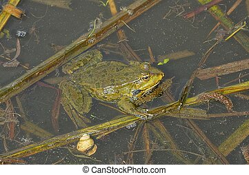 green frog sits in the water of a pond among brown algae