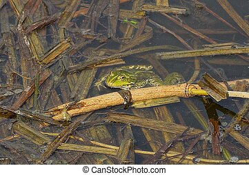 big green frog sits in the water of a pond among brown algae