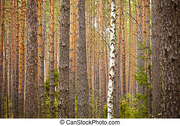 One birch among pine forest - background