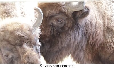 One bison licking the other one, Poland