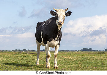 One black and white cow with horns, looking suspicious in a field under a blue sky and a faraway  horizon