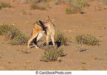 One Black backed jackal play with large feather in a dry desert having fun