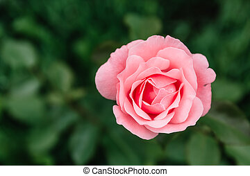 One blossoming pink rose on a background of green grass and leaves. A delicate flower can be used as an independent picture or as an example of a certain plant variety.