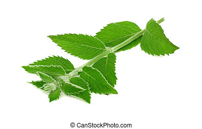 One branch of ripe green mint (isolated)