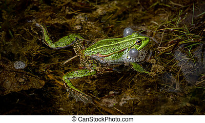 One breeding male pool frog with vocal sacs on both sides of mouth in vegetated areas in water. Pelophylax lessonae. European frog in Switzerland.