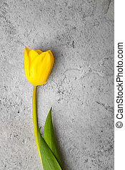 One bright yellow tulip on a gray background.