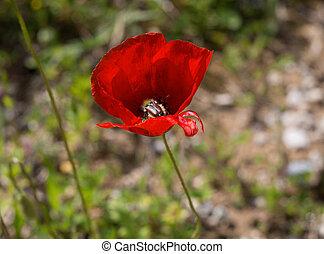One bug in red poppy flower