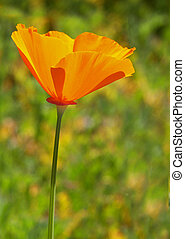 One California Poppy - California Poppy in field