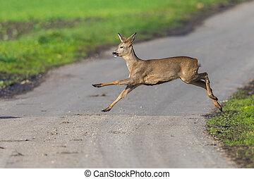 one capreolus roe deer jumping over street in sunlight