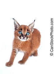 One caracal kitten - Caracal kitten on white studio...