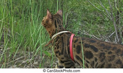 One cat bengal walks on the green grass. Bengal kitty learns to walk along the forest. Asian leopard cat tries to hide in grass. Reed domesticated cat in nature. Domestic cat on beach near river.