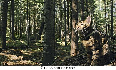 One cat in a city park. Bengal wildcat walk on the forest in collar. Asian Jungle Cat or Swamp or Reed. Domesticated leopard cat.