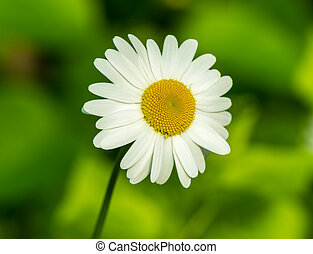 one chamomile on blured green background close up