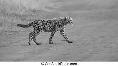 One Cheetah cub playing early morning in a road