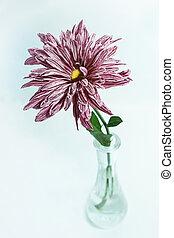 One chrysanthemum in glass vase