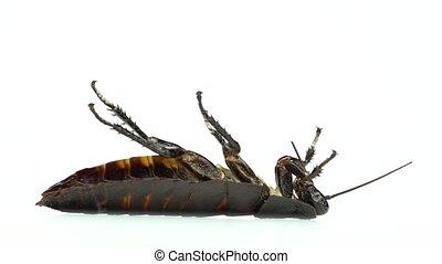 One cockroach lies on its back. White background. Side view. Slow motion