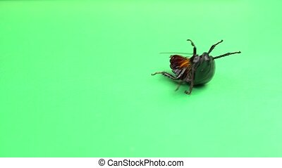 One cockroach spinning on its back and trying to stand on its paws. Green screen