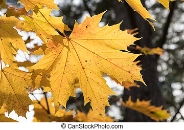 One colorful maple leaf