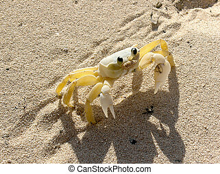 Crab - One Crab on the sea sand
