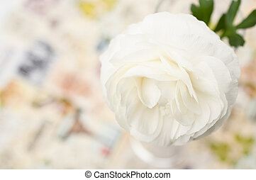 One cream-colored Ranunculus asiaticus flower from above,...