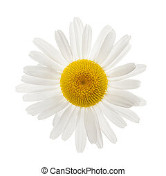 One daisy flower from above isolated on white background