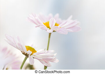 one Daisy leaned to the other on a light background