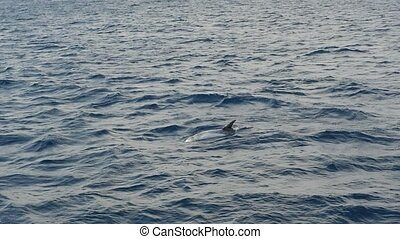 One dolphin is swimming and showing its fin for several...