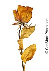 one dry rose on a white background