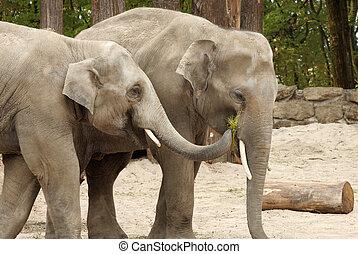 One elephant feeding the other - Two Asian elephants sharing...