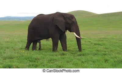 One Elephant in Afrika