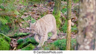 One european lynx cub walks in the woods - European lynx or...